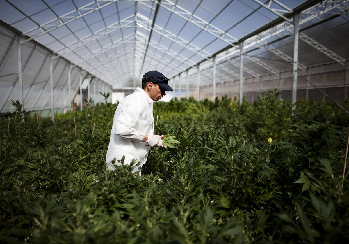 A worker at a cannabis greenhouse at the growing facility of the Tikun Olam company on March 7, 2011 near the northern city of Safed, Israel