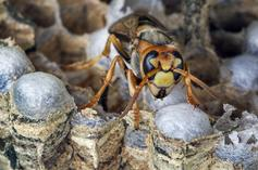 "Asian Giant ""Murder Hornets"" Spotted In U.S."
