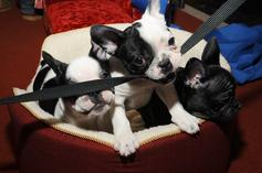 Lady Gaga's Dog Abduction Part Of Larger French Bulldog Theft Problem