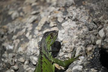 Floridians Advised To Be Mindful Of Iguanas Falling From Sky
